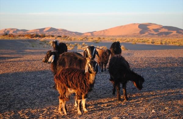 пустынные овцы